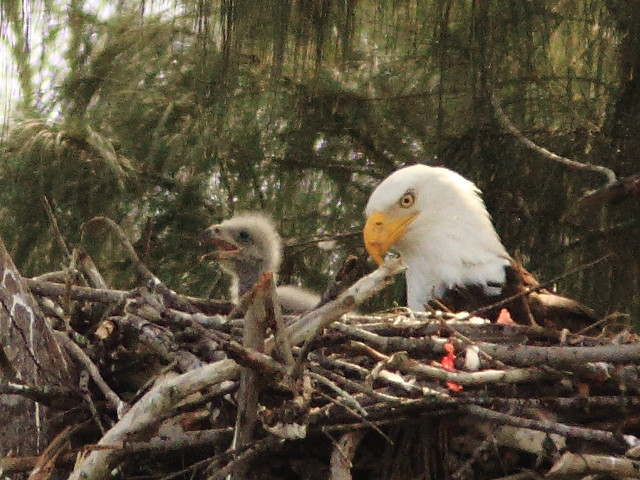 Bald Eagle male with eaglet 20130126