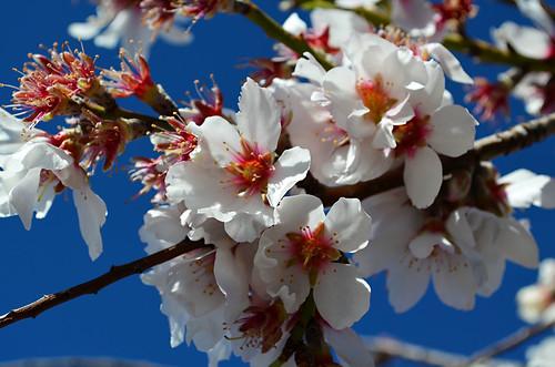 Almond blossom, Santiago del Teide, Tenerife