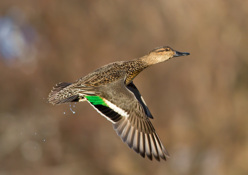 Urtönd - Green winged teal - Anas crecca