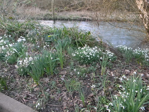 Snowdrops by the Wey