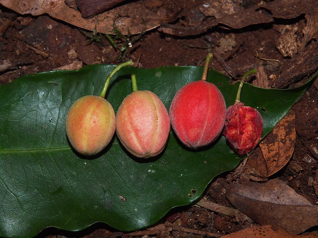 Fontainea australis Fruit