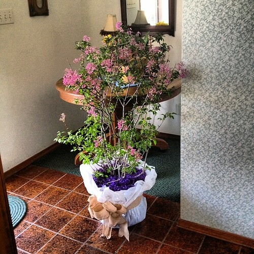 My sweetheart sent me a lilac bush! #love #springtime