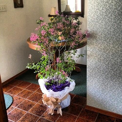 My sweetheart sent me a lilac bush! #love #springtime