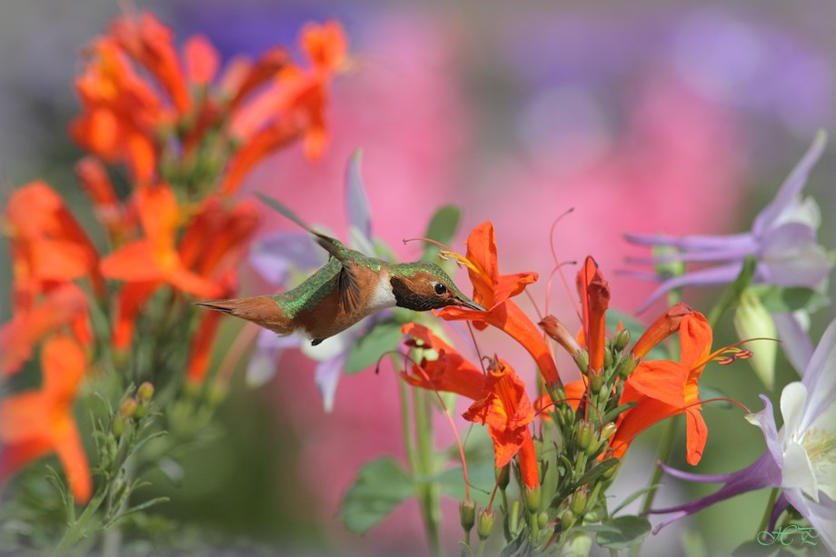 Allan's Hummingbird 032214-3