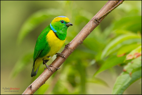 Golden-browed Chlorophonia (Chlorophonia callophrys) perched on a branch