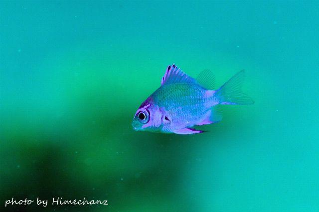 春の風物詩、アマミスズメダイ幼魚