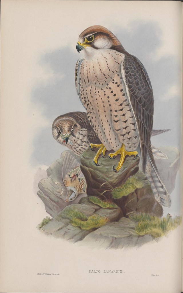 lithograph of an upright falcon on a rock with a hunched mate alongside - 19th century ornithology book illustration