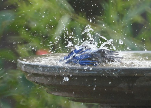Western Bluebird Bathing