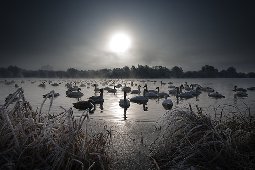 uk england sun lake cold ice birds sunrise dawn frozen swan northamptonshire freezing swans fowl addington brightwell greataddington