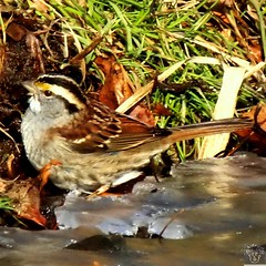 The White-throated Sparrow camouflages very well! Especially during the fall and winter months! 😃 #bns_birds #ig_birds #ig_clubbirds #ig_great_pics #great_captures_nature #tgif_features #photo_best11 #procaptures #nuts_about_birds #natureaddictsun
