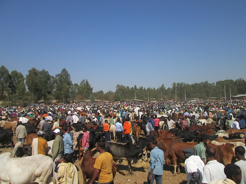 Livestock market in Bahir Dar town (Photo: ILRI\ Zeleke Mekuriaw)