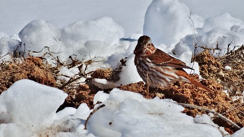 winter snow bird sparrow sandyriverreservoir