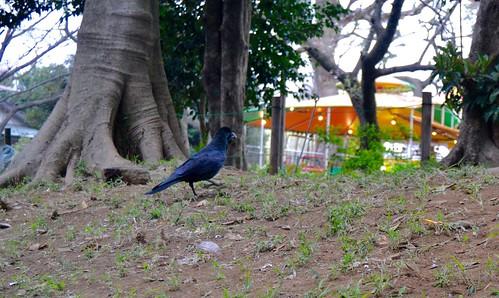 Corvo no Parque Ueno - Tóquio Japão 2016