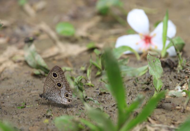 一隻蝶無視於我的存在,安心在落在桐花之間。