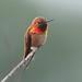 hummingbird © by The Digital Surgeon is back