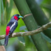 Black-and-red Broadbill by mallardg500