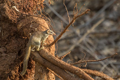 Tree Shrew - Tadoba Andhari Tiger Reserve