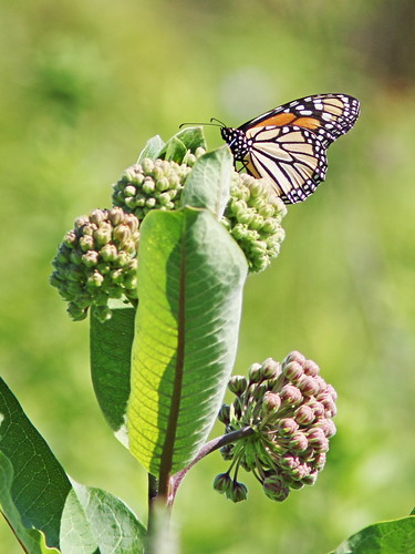 Monarch on Common Milkweed 20160627