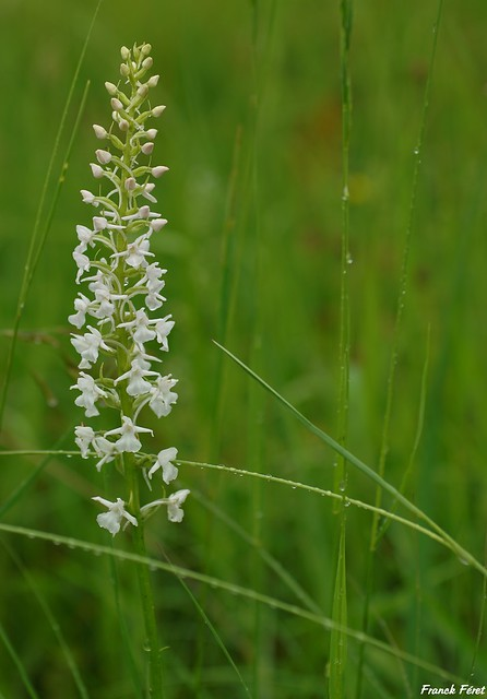 Orchis moucheron - Variation Blanche - Liesle