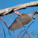 Red-eyed dove (Streptopelia semitorquata) taking flight with a small stick for a nest by Dave Montreuil
