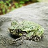 Why #goodmorning little gray #treefrog (Hyla versicolor) #nature  cc @xlding