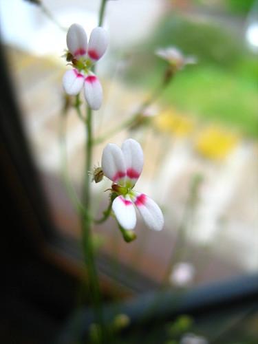 Fleur stylidium petiolaire?