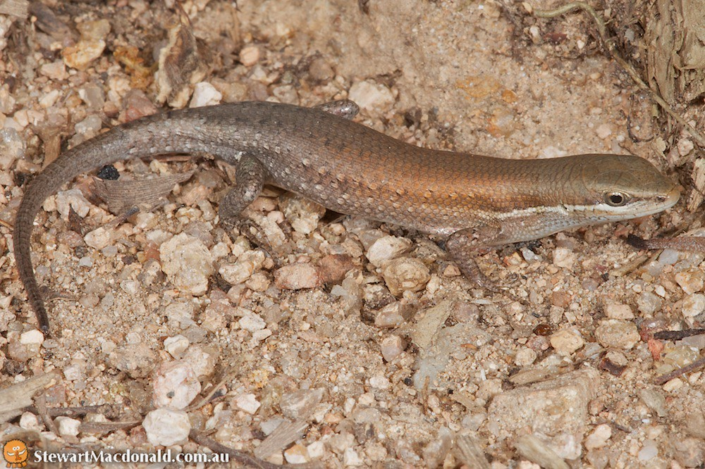 Orange-flanked rainbow skink (Carlia rubigo)