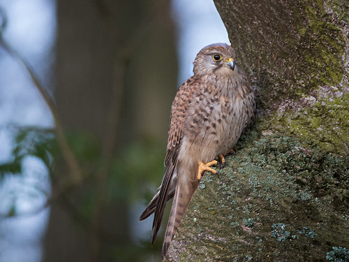 Kestrel perched