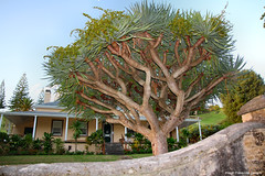 Dracaena draco - Dragon Tree at No.9 Quality Row, KAVHA Research Centre, Kingston, Norfolk Island