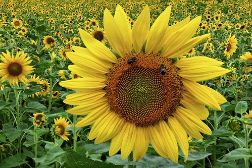 Field of SunFlowers Bumble Bees