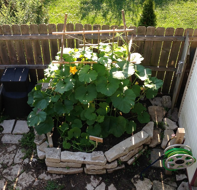 how to grow pumpkins in a small garden