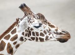 Giraffe_266