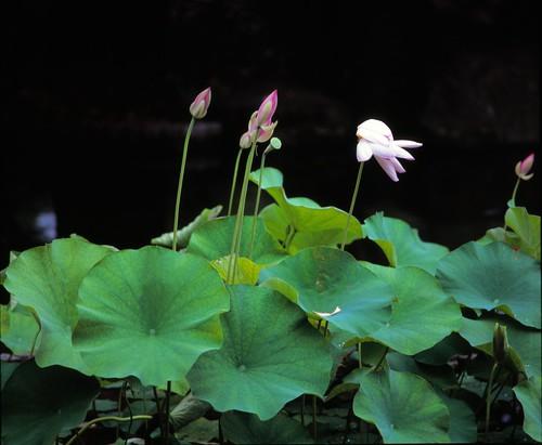 lotus2013