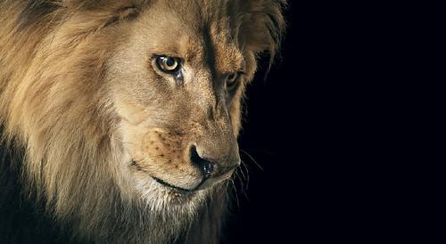 Tim Flach lion