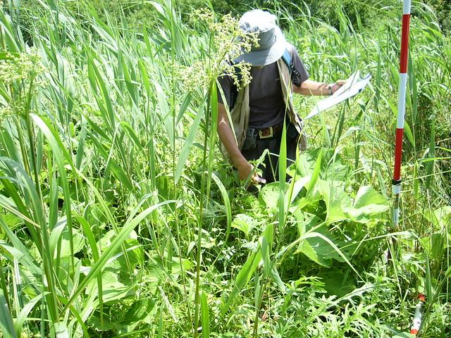 このプロットはオタカラコウなどが繁茂した.