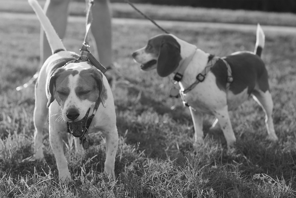 Beagle B&W Project, 6