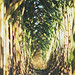 Corn Stalks by Sandra H-K
