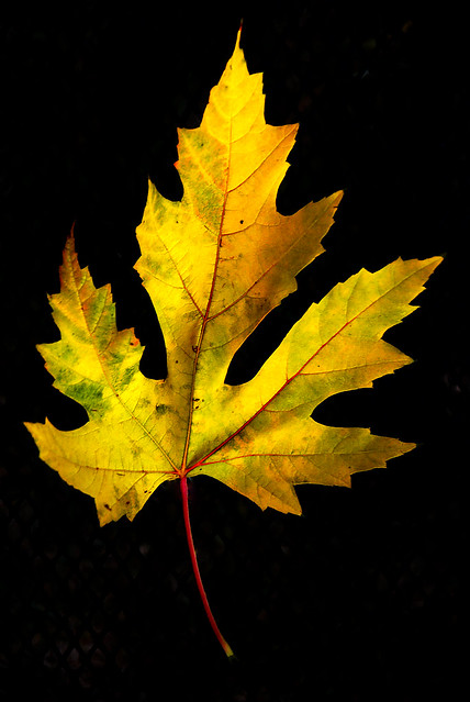 Essence of Autumn, Golden Maple Leaf, October 26, 2013 16-2 bp, Flickr should pick this for Explore