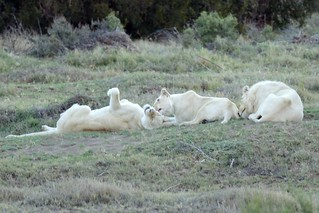White lions playing