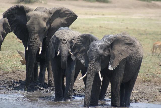 Elefantes en Imbabala
