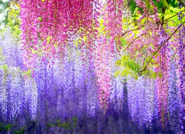 Kawachi Fuji Gardens