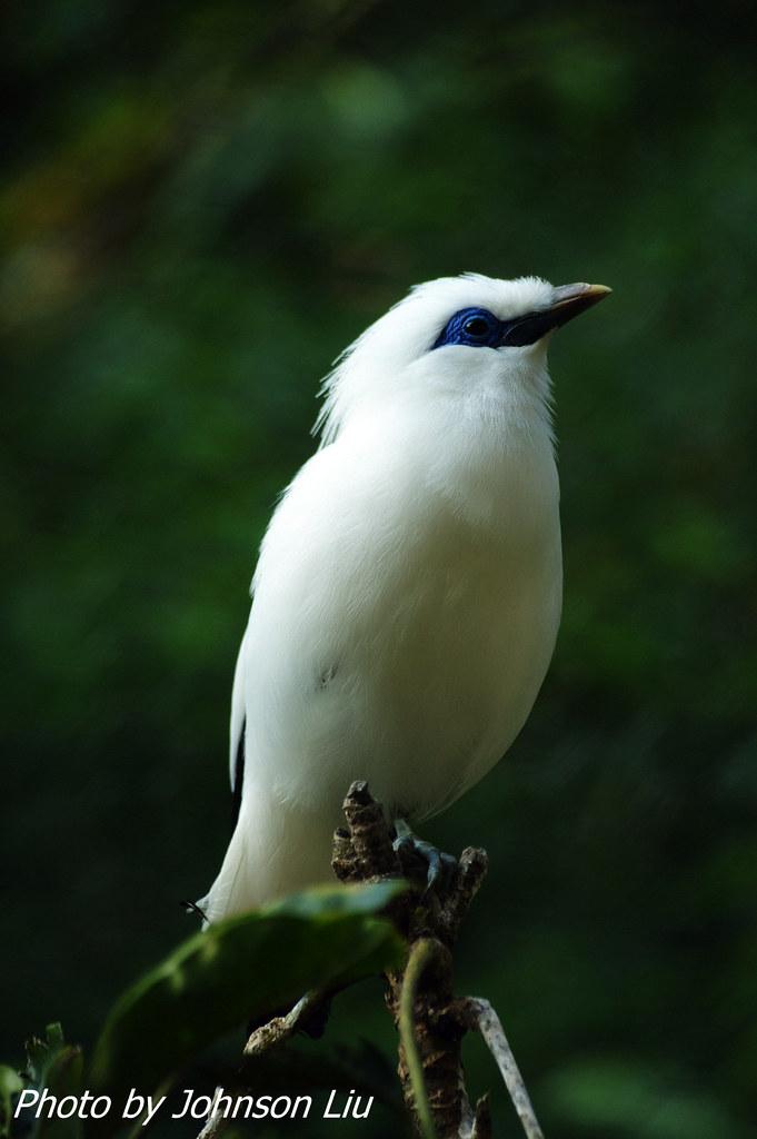 白椋鳥 - 祝攝友新年快樂