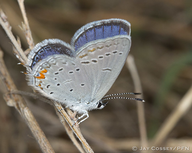 Eastern Tailed-Blue (Cupido comyntas) R7050 Mt. Magazine SP, AR PFN
