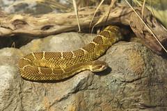 garter snake(0.0), lacertidae(0.0), animal(1.0), serpent(1.0), eastern diamondback rattlesnake(1.0), snake(1.0), boa constrictor(1.0), reptile(1.0), hognose snake(1.0), fauna(1.0), viper(1.0), rattlesnake(1.0), scaled reptile(1.0), wildlife(1.0),