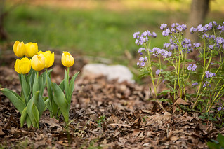 Yellow tulips and purple wildflowers