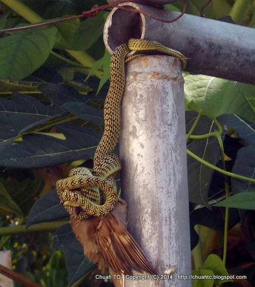 A Snake Suffocating A Sparrow