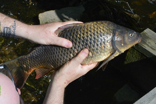 Big assed dead River Carp