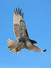 Red Tailed Hawk_01
