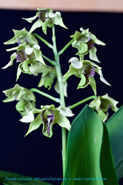 Dendrobium atroviolaceum x macrophyllum 16206565790_dcaa31929b_z