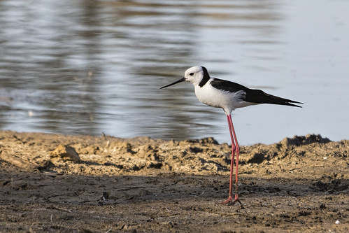 Black-winged Stilt 2015-01-06 (_MG_1173)